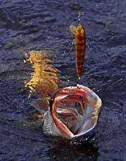 brochet pris sur un poisson nageur classique