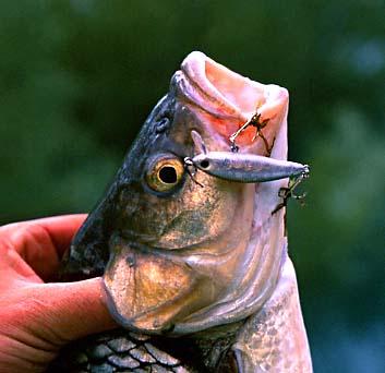 P che du chevesne au poisson nageur - Peche du poisson chat au coup ...